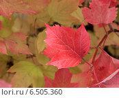 Купить «Краски осени. Красный лист калины», фото № 6505360, снято 21 сентября 2014 г. (c) Светлана Ильева (Иванова) / Фотобанк Лори