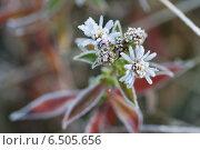 Купить «Цветы в инее», фото № 6505656, снято 7 октября 2014 г. (c) Ткачёва Ольга / Фотобанк Лори