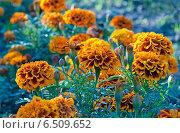 Купить «Бархатцы, садовые декоративные цветы», эксклюзивное фото № 6509652, снято 7 сентября 2014 г. (c) Svet / Фотобанк Лори