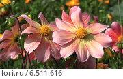 Купить «Розовые цветы в саду», видеоролик № 6511616, снято 10 октября 2014 г. (c) Сергей Куров / Фотобанк Лори
