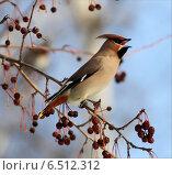 Купить «Свиристель поёт», фото № 6512312, снято 19 января 2014 г. (c) Марина Орлова / Фотобанк Лори