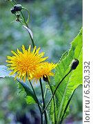 Купить «Осот полевой (Sоnchus arvеnsis)», эксклюзивное фото № 6520332, снято 13 августа 2014 г. (c) Евгений Мухортов / Фотобанк Лори