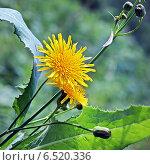 Купить «Осот полевой (Sоnchus arvеnsis)», эксклюзивное фото № 6520336, снято 13 августа 2014 г. (c) Евгений Мухортов / Фотобанк Лори