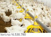 Купить «Куры-несушки на ферме», фото № 6530780, снято 12 июля 2012 г. (c) Олег Хархан / Фотобанк Лори