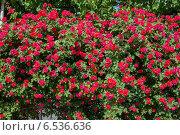 Купить «Bush of roses on bright summer day», фото № 6536636, снято 17 мая 2014 г. (c) Elnur / Фотобанк Лори