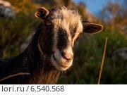 Портрет домашней козы. Стоковое фото, фотограф Татьяна Мирохина / Фотобанк Лори