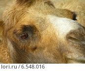 Верблюжий глаз. Стоковое фото, фотограф Дмитрий Богословский / Фотобанк Лори