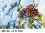 Купить «Шишки на заснеженном дереве», фото № 6549816, снято 30 января 2014 г. (c) Икан Леонид / Фотобанк Лори