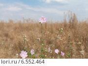 Полевые цветы Мальва обыкновенная на фоне голубого неба и сухой травы. Стоковое фото, фотограф Эдуард Данилов / Фотобанк Лори