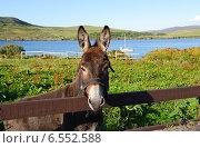 Купить «Осел в поле Коннемаре, графство Голуэй, Ирландия, Европа», фото № 6552588, снято 23 августа 2014 г. (c) Татьяна Кахилл / Фотобанк Лори