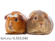 Две морские свинки на белом фоне. Стоковое фото, фотограф Ковалев Василий / Фотобанк Лори