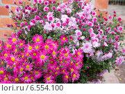 Купить «Осенние хризантемы в саду», эксклюзивное фото № 6554100, снято 18 октября 2014 г. (c) Дудакова / Фотобанк Лори