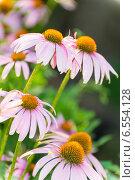 Купить «Цветы эхинацеи», фото № 6554128, снято 24 июля 2014 г. (c) Володина Ольга / Фотобанк Лори
