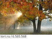 Купить «Осенний дуб и солнечные лучи», фото № 6565568, снято 12 октября 2014 г. (c) Афанасьева Ольга / Фотобанк Лори