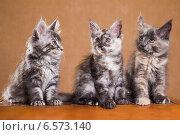 Купить «Три котенка породы мейн-кун», фото № 6573140, снято 5 августа 2014 г. (c) Gagara / Фотобанк Лори