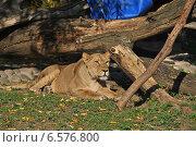 Купить «Львица в Московском зоопарке», эксклюзивное фото № 6576800, снято 28 сентября 2014 г. (c) lana1501 / Фотобанк Лори