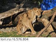 Купить «Львица в Московском зоопарке», эксклюзивное фото № 6576804, снято 28 сентября 2014 г. (c) lana1501 / Фотобанк Лори