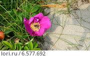Купить «Оса собирает нектар с цветка», видеоролик № 6577692, снято 23 октября 2014 г. (c) Сергей Трофименко / Фотобанк Лори