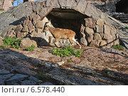 Купить «Винторогий козел в Московском зоопарке», эксклюзивное фото № 6578440, снято 28 сентября 2014 г. (c) lana1501 / Фотобанк Лори
