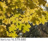 Желтые кленовые листья на солнце. Стоковое фото, фотограф Dmitry Rumyntsev / Фотобанк Лори