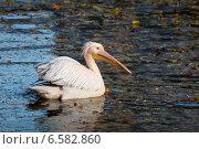 Купить «Розовый пеликан», фото № 6582860, снято 16 октября 2014 г. (c) Сергей Рыжков / Фотобанк Лори