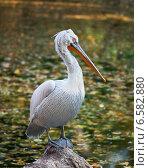 Купить «Кудрявый пеликан», фото № 6582880, снято 16 октября 2014 г. (c) Сергей Рыжков / Фотобанк Лори