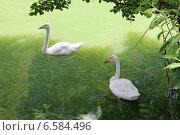 Лебеди в пруду. Стоковое фото, фотограф Репаная Екатерина / Фотобанк Лори