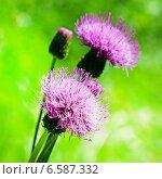 Бодяк разнолистный (Cirsium heterophyllum) Стоковое фото, фотограф Евгений Мухортов / Фотобанк Лори