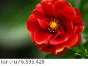 Крупный красный цветок на зеленом фоне. Стоковое фото, фотограф Алена Зубакова / Фотобанк Лори