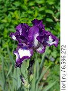 Купить «Фиолетово - белый бородатый ирис (лат. Iris barbatus)», эксклюзивное фото № 6596272, снято 17 июня 2014 г. (c) Елена Коромыслова / Фотобанк Лори