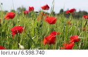 Купить «Маковое поле в ветреную погоду», видеоролик № 6598740, снято 29 октября 2014 г. (c) Наталья Волкова / Фотобанк Лори