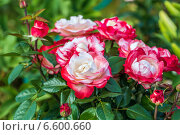 Купить «Роза чайно-гибридная Ностальжи (Nostalgie Hybrid Tea). Тантау (Tantau)», фото № 6600660, снято 20 июля 2014 г. (c) Ольга Сейфутдинова / Фотобанк Лори