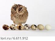 Домашний перепел эстонской породы около яиц разнообразной расцветки. Стоковое фото, фотограф Елена Кутепова / Фотобанк Лори