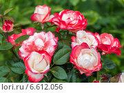 Купить «Роза чайно-гибридная Ностальжи (Nostalgie Hybrid Tea). Тантау (Tantau)», фото № 6612056, снято 20 июля 2014 г. (c) Ольга Сейфутдинова / Фотобанк Лори