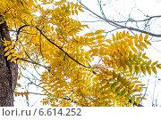 Ветка дерева с желтой листвой на фоне пасмурного неба. Стоковое фото, фотограф Давид Арутюнов / Фотобанк Лори
