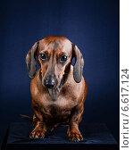Рыжая собака такса на темно-синем фоне. Стоковое фото, фотограф Суворкин Владимир / Фотобанк Лори