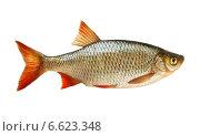 Рыба красноперка на белом фоне. Стоковое фото, фотограф Антон Стариков / Фотобанк Лори