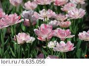 Бело-розовые тюльпаны на клумбе весной. Стоковое фото, фотограф lana1501 / Фотобанк Лори