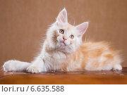 Купить «Котенок породы мейн-кун», фото № 6635588, снято 5 августа 2014 г. (c) Gagara / Фотобанк Лори