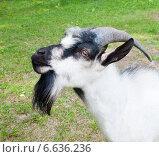 Голова козла крупным планом. Стоковое фото, фотограф E. O. / Фотобанк Лори