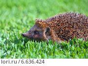 Купить «Ёж на траве крупным планом», фото № 6636424, снято 4 июня 2014 г. (c) Григорий Писоцкий / Фотобанк Лори