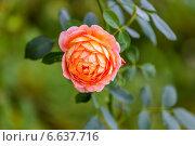 Купить «Английская кустовая роза Леди оф Шалот David Austin», фото № 6637716, снято 6 июля 2014 г. (c) Ольга Сейфутдинова / Фотобанк Лори