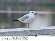 Купить «Белая чайка на мраморных перилах», фото № 6638052, снято 21 января 2014 г. (c) Сергей Трофименко / Фотобанк Лори