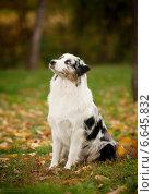 Австралийская овчарка. Стоковое фото, фотограф Дарья Июньская / Фотобанк Лори