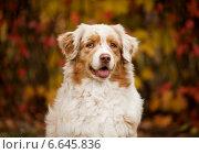 Портрет собаки. Стоковое фото, фотограф Дарья Июньская / Фотобанк Лори