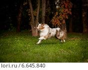 Собака бежит по траве. Стоковое фото, фотограф Дарья Июньская / Фотобанк Лори