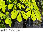 Листья каштана. Стоковое фото, фотограф Ольга Ермакова / Фотобанк Лори