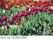 Малиновые тюльпаны на клумбе весной. Стоковое фото, фотограф lana1501 / Фотобанк Лори