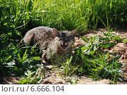 Купить «Кошка в траве мяукает», эксклюзивное фото № 6666104, снято 6 июня 2011 г. (c) lana1501 / Фотобанк Лори