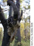 Череп животного с рогами висит на дереве в лесу. Стоковое фото, фотограф Юлия Куксова / Фотобанк Лори